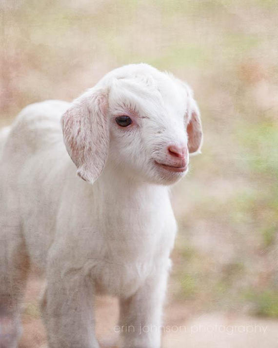 Farmhouse Decor, Rustic Home Decor, Farm Photography, Nursery Art, Rustic  Wall Art, Baby Goat Photography, Country Home Decor